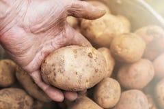 Nya potatisar i gammal äldre hand för bonde` s ovanför hinken tonad bild arkivfoto