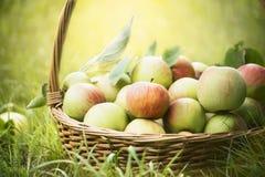 Nya äpplen i korgen på det gröna gräset och den naturliga bakgrunden, slut upp Royaltyfri Fotografi