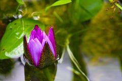 Nya purpurfärgade Lotus Flower Arkivbild