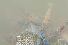Nya räkor i vatten Royaltyfri Fotografi
