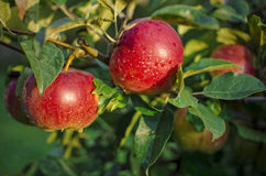 Nya röda äpplen Arkivbild