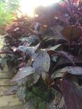 Nya röda blad Arkivfoto