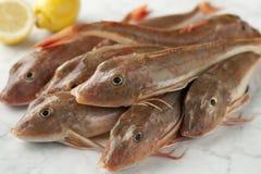 Nya röda gurnardfiskar Fotografering för Bildbyråer