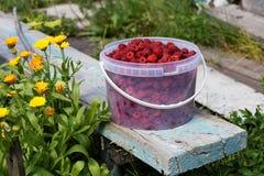 Nya röda hallon i plast- hink Royaltyfria Bilder
