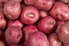 Nya röda potatisar Royaltyfri Bild