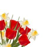 Nya röda tulpan och påskliljor på vit bakgrund Arkivbilder