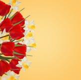 Nya röda tulpan och påskliljor på vit bakgrund Fotografering för Bildbyråer