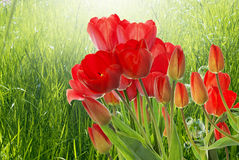 nya röda tulpan på abstrakt vårnaturbakgrund Arkivbild