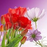 nya röda tulpan på abstrakt vårnaturbakgrund Arkivfoton
