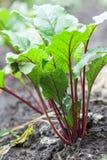 Nya rödbeta- och spenatväxter på en jordning för grönsakträdgård royaltyfri fotografi