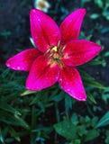 Nya rosa färger lilly fotografering för bildbyråer