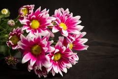 Nya rosa krysantemum Arkivfoto