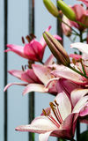 Nya rosa liljor i trädgården arkivbild