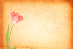 Nya rosa tulpan Royaltyfria Bilder