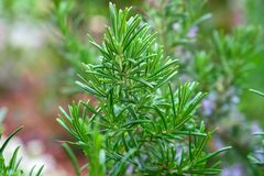 Nya Rosemary Herb buske som växer i trädgård arkivfoton