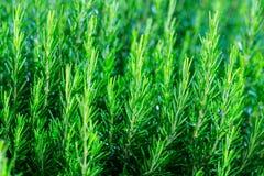 Nya Rosemary Herb buske växer utomhus- Rosmarin lämnar närbild arkivbild
