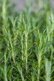 Nya Rosemary Herb växer utomhus- Royaltyfria Bilder