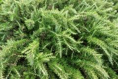Nya rosmarinbuskar i trädgård Gröna örtbuskar växer utomhus- royaltyfri foto