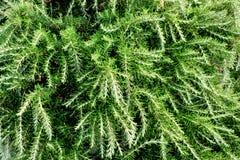 Nya rosmarinbuskar i trädgård Gröna örtbuskar växer utomhus- Royaltyfri Bild