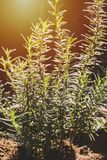 Nya rosmarinsidor för selektiv fokus Solljus ny organisk fl royaltyfri fotografi