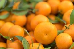 Nya runda kumquats eller runda kumquats för marFresh eller marumikumquat efter harvestingumikumquat, når att ha skördat Arkivfoton