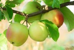 Nya saftiga äpplen på frunchslut upp Fotografering för Bildbyråer