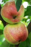 Nya saftiga äpplen på frunchslut upp Arkivfoto