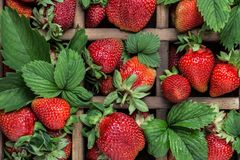 Nya saftiga jordgubbar med sidor En ljus radda, är nya bär av en jordgubbe sund begreppsmat Nya organiska bär Royaltyfri Foto