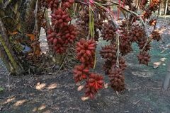 Nya Salacca zalacca eller Salak frukter i frukterna f?r Salak tr?dtr?dg?rd Thail?ndska frukter royaltyfri foto