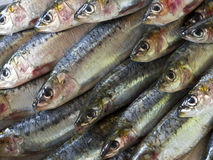 Nya sardiner Arkivfoto