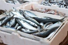 Nya sardiner Royaltyfri Fotografi