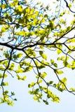 Nya sidor av skogskornell (Cornus florida) och solsken Royaltyfri Bild