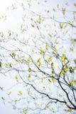 Nya sidor av skogskornell och solsken Royaltyfri Foto