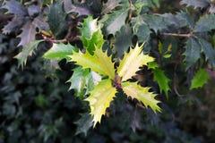 Nya sidor järnek, Ilex Aquifolium Selektivt fokusera arkivfoto
