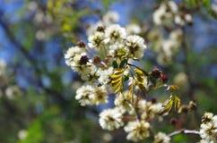 Nya sidor och blomningar i vår Arkivbilder