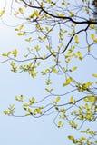 Nya sidor och filialer av skogskornell (Cornus florida) och solljus Arkivfoto