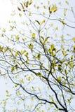 Nya sidor och filialer av skogskornell och solsken Royaltyfri Foto
