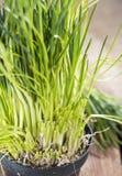Nya skördade gräslökar Fotografering för Bildbyråer