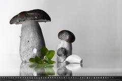 Nya skördade stensoppporcinisopp med oregano- och vitlökkopian gör mellanslag bakgrund Arkivfoton