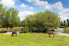 Nya skogdonkies vid en sjö på en solig sommardag i Hampshire England UK på en sommardag royaltyfria bilder