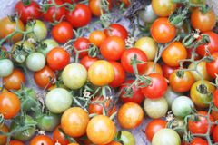 Nya små tomater royaltyfri foto