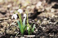 Snowdrop blommor Royaltyfri Bild