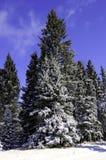 nya snowtrees Arkivbilder