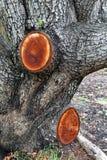 Nya stubbar på beskurit träd royaltyfri foto