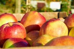 Nya sunda äpplen i en ask i fruktträdgård Jordbruk i sommar och höst Royaltyfri Foto