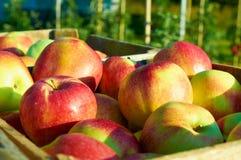 Nya sunda äpplen i en ask i fruktträdgård Jordbruk i sommar och höst Royaltyfria Bilder