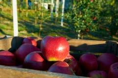 Nya sunda äpplen i en ask i fruktträdgård Jordbruk i sommar och höst Royaltyfri Bild