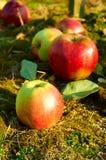 Nya sunda äpplen på ett gräs i fruktträdgård Jordbruk i sommar och höst Royaltyfri Bild