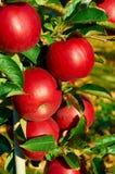 Nya sunda äpplen på ett träd i fruktträdgård Jordbruk i sommar och höst Fotografering för Bildbyråer