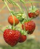 Nya sunda mogna röda jordgubbar som växer i en trädgård Arkivfoto